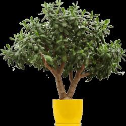 lemon-tree.png